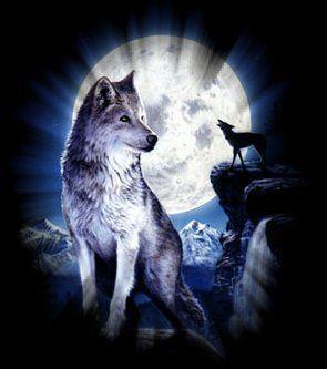 Un loup capturé vivant dans le Mercantour Aiemvftv