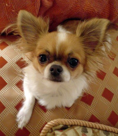 how to train a chihuahua to sit